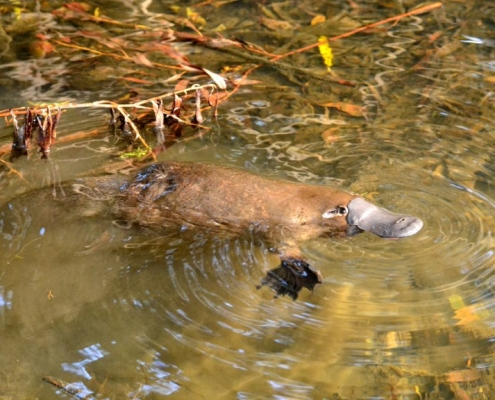 picture of a platypus